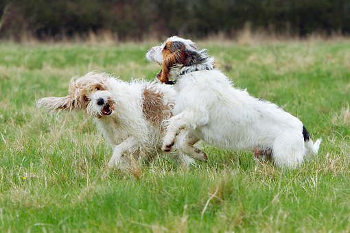 DOG 06 NR0072 01 © Kimball Stock Two Basset Griffon Vendeens (Grand And Petit) Playing In Grass