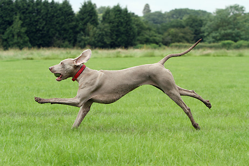 DOG 06 NR0075 01 © Kimball Stock Weimaraner Running Through Field With Tennis Ball