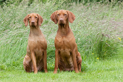 DOG 06 NR0092 01 © Kimball Stock Vizslas Sitting In Grass