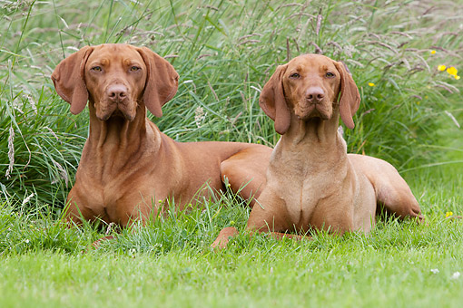 DOG 06 NR0093 01 © Kimball Stock Vizslas Sitting In Grass