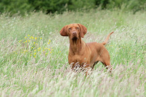 DOG 06 NR0094 01 © Kimball Stock Vizslas Standing In Grass