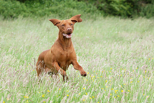 DOG 06 NR0095 01 © Kimball Stock Vizsla Running Through Grass