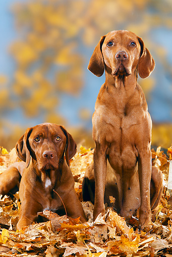 DOG 06 PE0003 01 © Kimball Stock Magyar Vizslas Sitting In Autumn Leaves