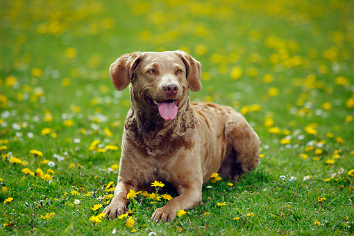 DOG 06 PE0005 01 © Kimball Stock Chesapeake Bay Retriever Laying On Grass And Dandelions