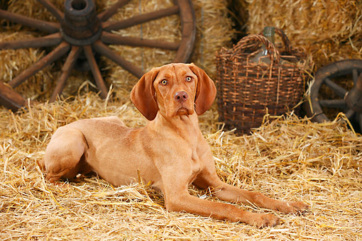 DOG 06 PE0029 01 © Kimball Stock Magyar Vizsla Laying On Hay By Basket And Old Wheels