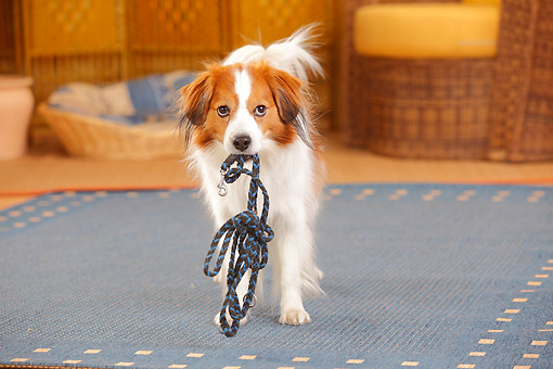 DOG 06 PE0033 01 © Kimball Stock Kooikerhondje Male Carrying Leash In Mouth In House