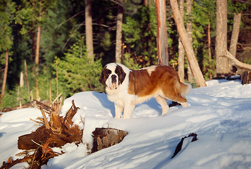 DOG 06 RK0013 02 © Kimball Stock St.Bernard Standing On Snow By Trees