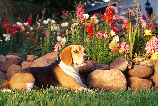 DOG 06 RK0165 02 © Kimball Stock Profile Shot Of Beagle Laying On Grass By Stone Wall And Flowers