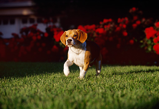 DOG 06 RK0177 01 © Kimball Stock Beagle Running On Grass Towards Camera Red Flowers In Background