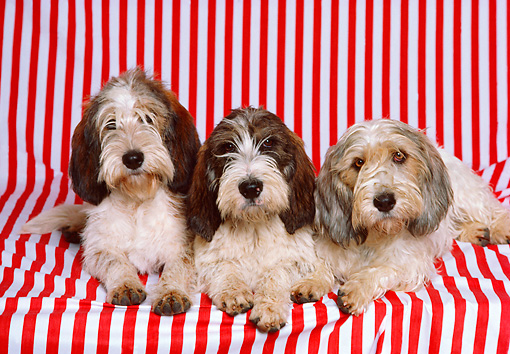 DOG 06 RK0191 17 © Kimball Stock Basset Griffon Dogs Laying On Red And White Stripe Sheet