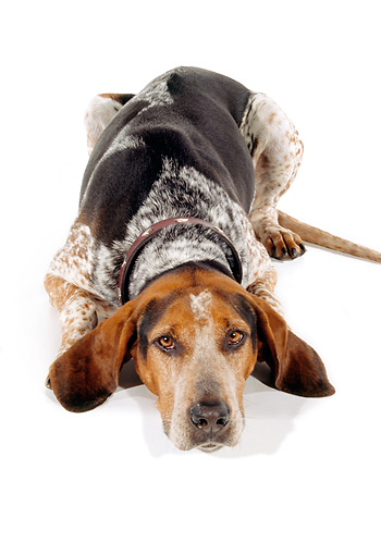 DOG 06 RK0206 03 © Kimball Stock English Coon Hound Laying With Head Down On White Seamless