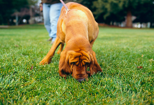 DOG 06 RK0214 02 © Kimball Stock Bloodhound On Leash Sniffing Grass With Owner At Park