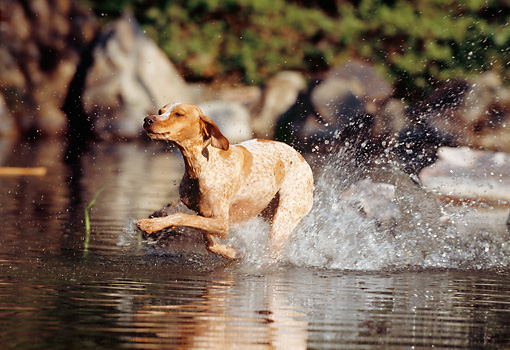 DOG 06 SS0004 01 © Kimball Stock Pointer Running In Shallow Stream