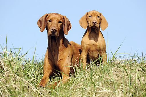 DOG 06 SS0014 01 © Kimball Stock Young Viszla And Adult Viszla Sitting In Meadow