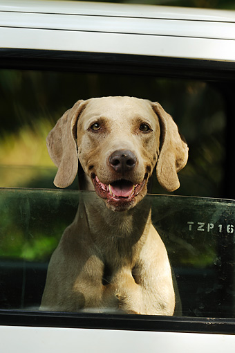 DOG 06 SS0017 01 © Kimball Stock Head Shot Of Weimaraner Sticking Head Out Of Car Window