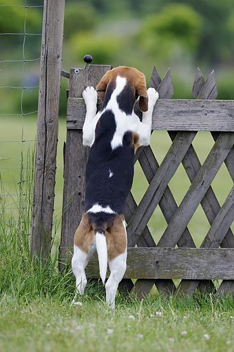 DOG 06 SS0021 01 © Kimball Stock Beagle Standing On Hind Legs Looking Over Gate In Meadow
