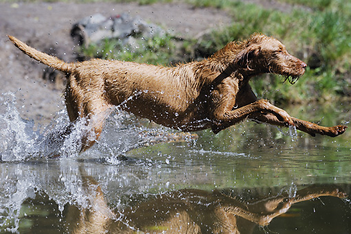 DOG 06 SS0023 01 © Kimball Stock Vizsla Running Through Water Profile
