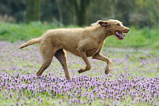 DOG 06 SS0024 01 © Kimball Stock Vizsla Running Through Meadow With Purple Flowers Profile