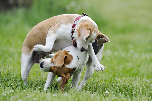 DOG 06 SS0030 01 © Kimball Stock Two Beagles Fighting On Grass