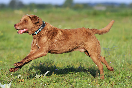 DOG 06 SS0052 01 © Kimball Stock Chesapeake Bay Retriever Running Through Field