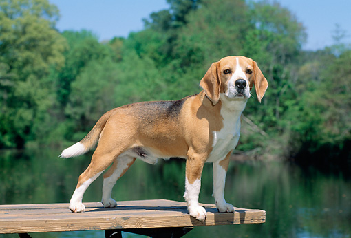 DOG 06 CE0001 01 © Kimball Stock Beagle Standing On Dock By Water Trees Blue Sky
