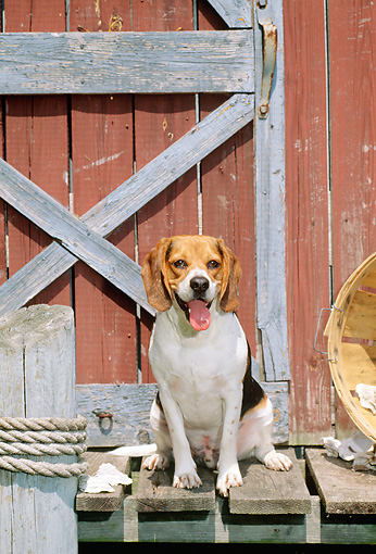 DOG 06 CE0003 01 © Kimball Stock Beagle Standing On Dock By Red Boathouse