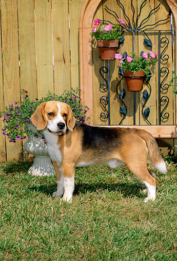 DOG 06 CE0004 01 © Kimball Stock Beagle Standing On Grass Flowers Planters Trellis Wall
