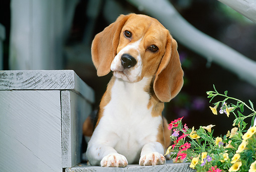 DOG 06 CE0009 01 © Kimball Stock Beagle Laying On Step By Flowers