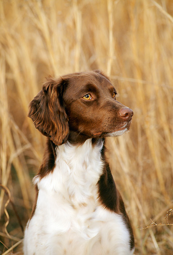 DOG 06 CE0012 01 © Kimball Stock Shoulder Shot Of Brittany Sitting In Reeds
