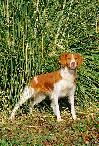 DOG 06 CE0013 01 © Kimball Stock Brittany Standing By Tall Grass