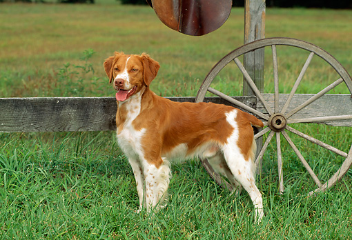 DOG 06 CE0014 01 © Kimball Stock Brittany Standing In Field By Fence And Wagon Wheel