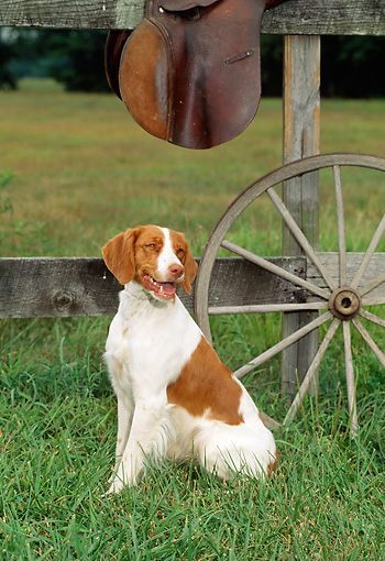 DOG 06 CE0015 01 © Kimball Stock Brittany Sitting In Field By Fence And Wagon Wheel