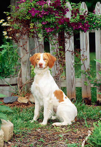 DOG 06 CE0016 01 © Kimball Stock Brittany Sitting In Field By Fence And Wagon Wheel