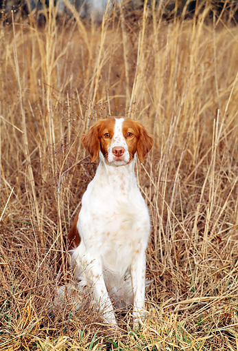 DOG 06 CE0017 01 © Kimball Stock Brittany Sitting By Reeds