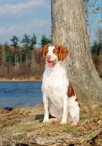DOG 06 CE0018 01 © Kimball Stock Brittany Sitting On Grass By Tree Lake Blue Sky