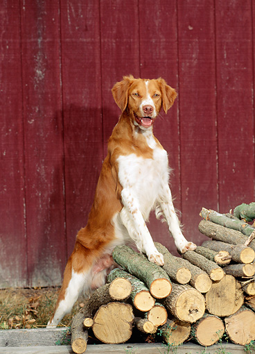DOG 06 CE0019 01 © Kimball Stock Brittany Standing On Woodpile By Red Barn