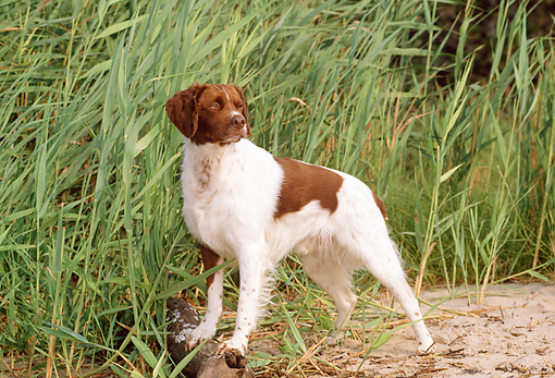 DOG 06 CE0020 01 © Kimball Stock Brittany Standing On Sand By Tall Grass