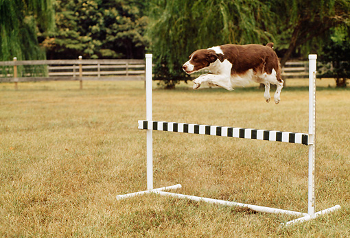 DOG 06 CE0022 01 © Kimball Stock Brittany Leaping Over High Jump In Field