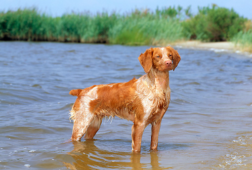 DOG 06 CE0024 01 © Kimball Stock Brittany Standing In Shallow Water