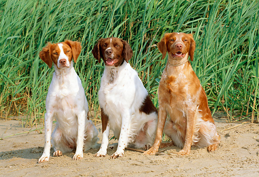 DOG 06 CE0025 01 © Kimball Stock Three Brittanies Sitting On Sand By Tall Grass