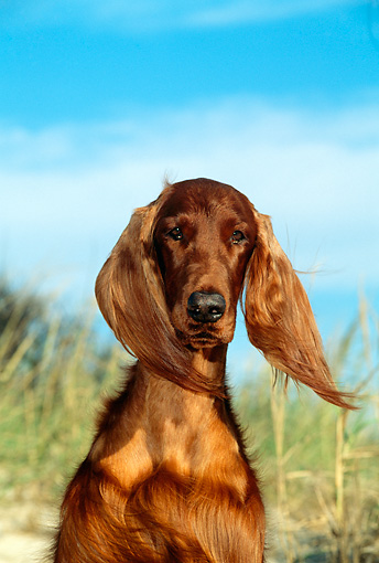 DOG 06 CE0026 01 © Kimball Stock Shoulder Shot Of Irish Setter Sitting On Beach Blue Sky