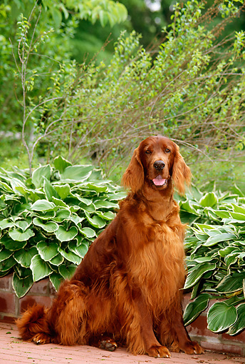 DOG 06 CE0030 01 © Kimball Stock Irish Setter Sitting On Brick Patio By Plants