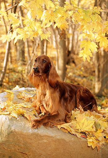 DOG 06 CE0034 01 © Kimball Stock Irish Setter Laying On Rock And Autumn Leaves In Woods