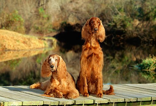 DOG 06 CE0036 01 © Kimball Stock Two Irish Setters Laying On Dock By Pond