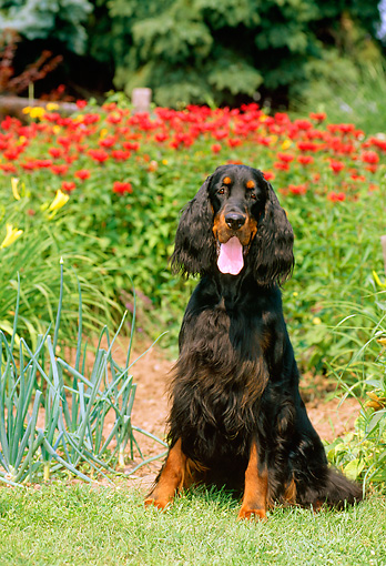 DOG 06 CE0038 01 © Kimball Stock Gordon Setter Puppy Sitting By Reeds Lake