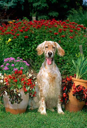 DOG 06 CE0040 01 © Kimball Stock English Setter Sitting In On Grass By Flowers