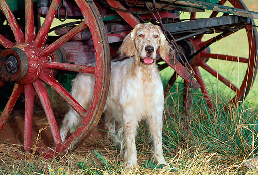 DOG 06 CE0041 01 © Kimball Stock English Setter Standing In Field Under Wagon