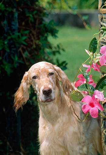 DOG 06 CE0042 01 © Kimball Stock Shoulder Shot Of English Setter Standing By Pink Flowers