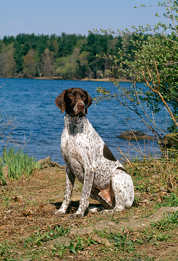 DOG 06 CE0043 01 © Kimball Stock German Shorthaired Pointer Sitting By Lake Trees Blue Sky