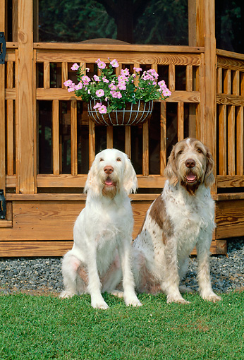 DOG 06 CE0044 01 © Kimball Stock Two Spinone Italianos Sitting On Grass By Gazebo And Flowers